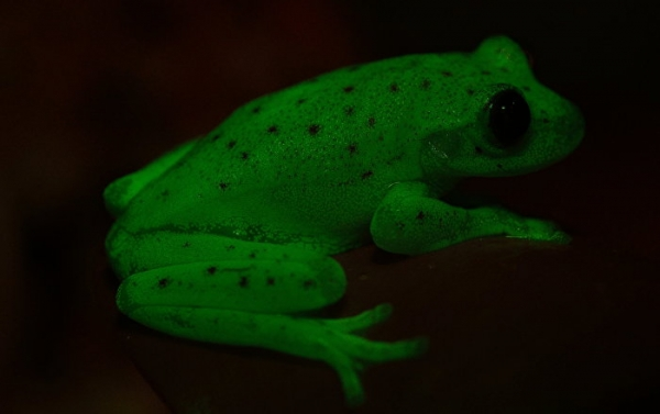 The polka-dot tree frog